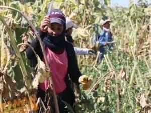 Şanlıurfalı tarım işçileri, her yerdeler