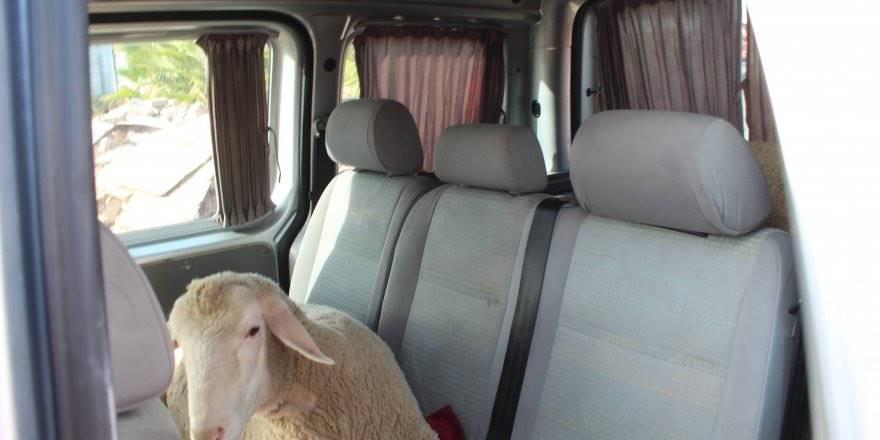 """Koyun Çaldılar, """"Sünnet Düğünü Yapacaktık"""" Dediler"""