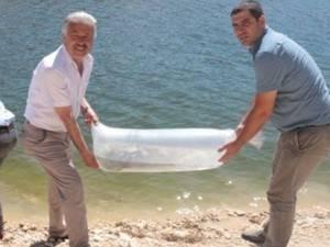 Başyayla'da 20 Bin Sazan Gölete Bırakıldı