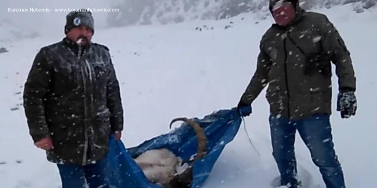 Niğde'de Yaban Keçisi 1 Kilometre Taşınarak Kurtarıldı