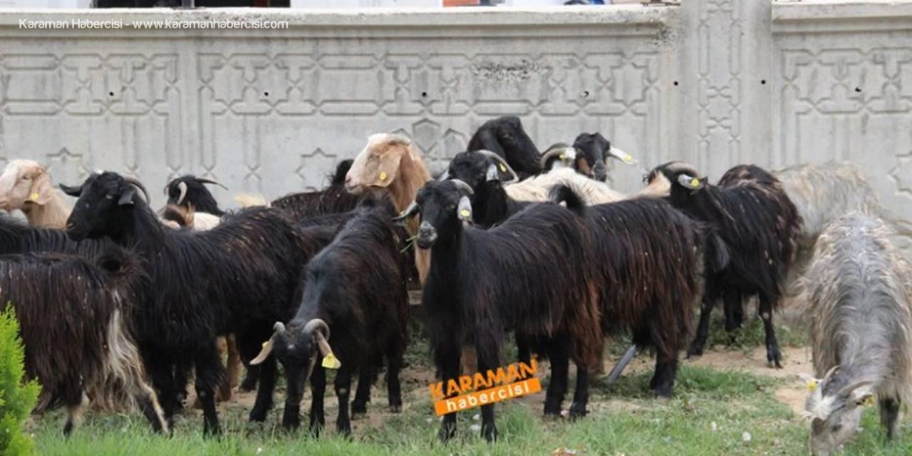 Karaman'da Kaza Sonrası Hayvanlar Yola Dağıldı
