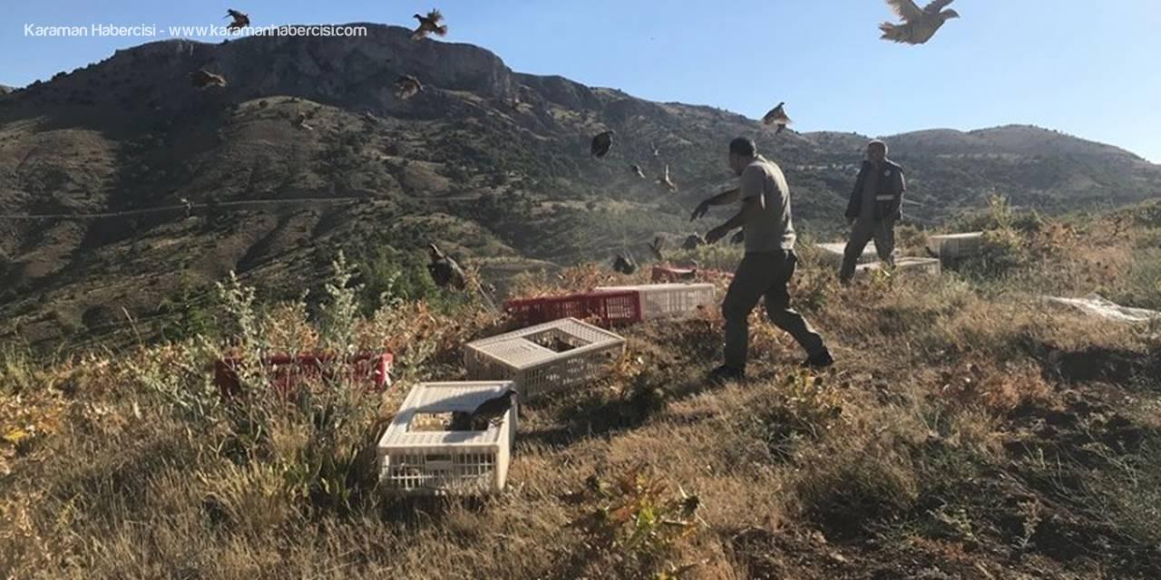 Karaman'da 2 Bin Kınalı Keklik Özgürlüğe Uçtu