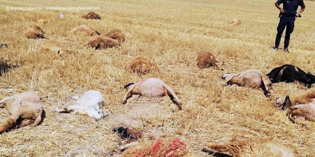 Karaman'da Otlatmak İçin Salınan Koyunlar Ölmüş Halde Bulundu