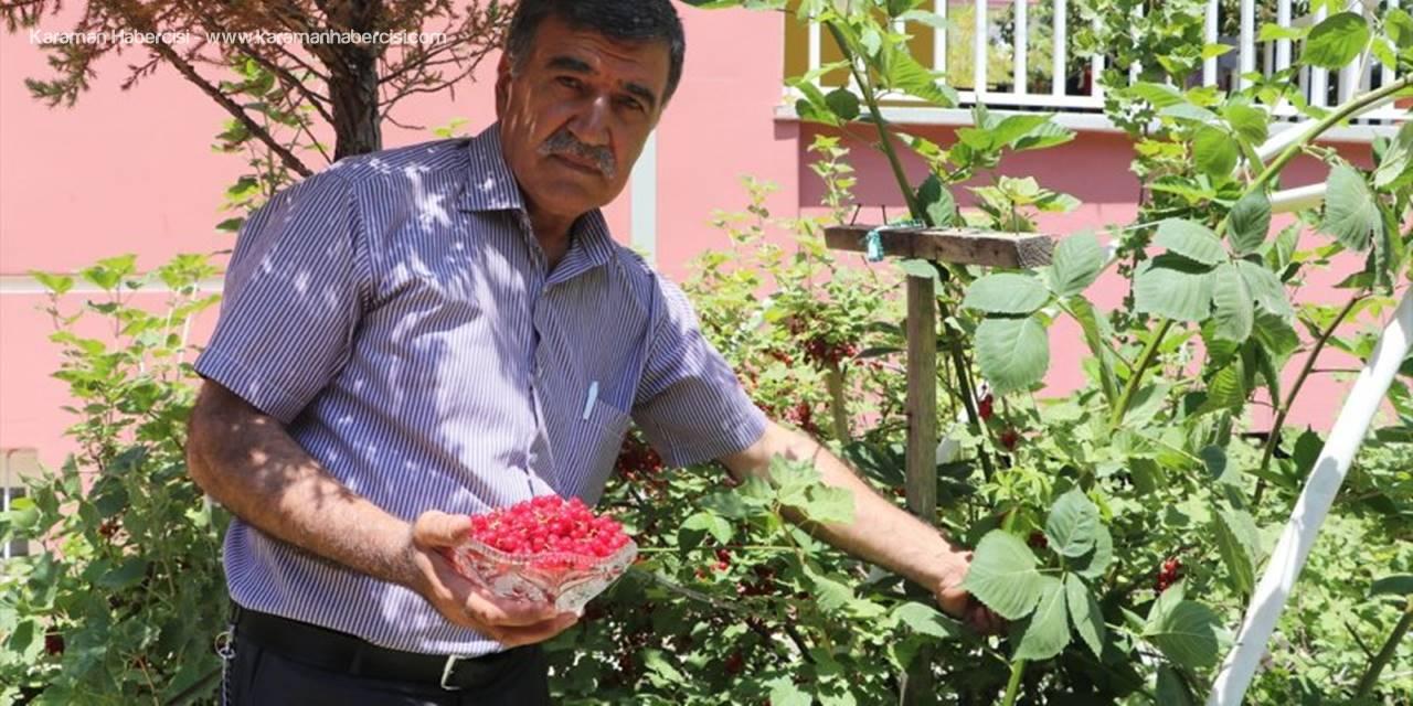Hollanda'dan Getirdiği Frenk Üzümü Karaman'da Tuttu