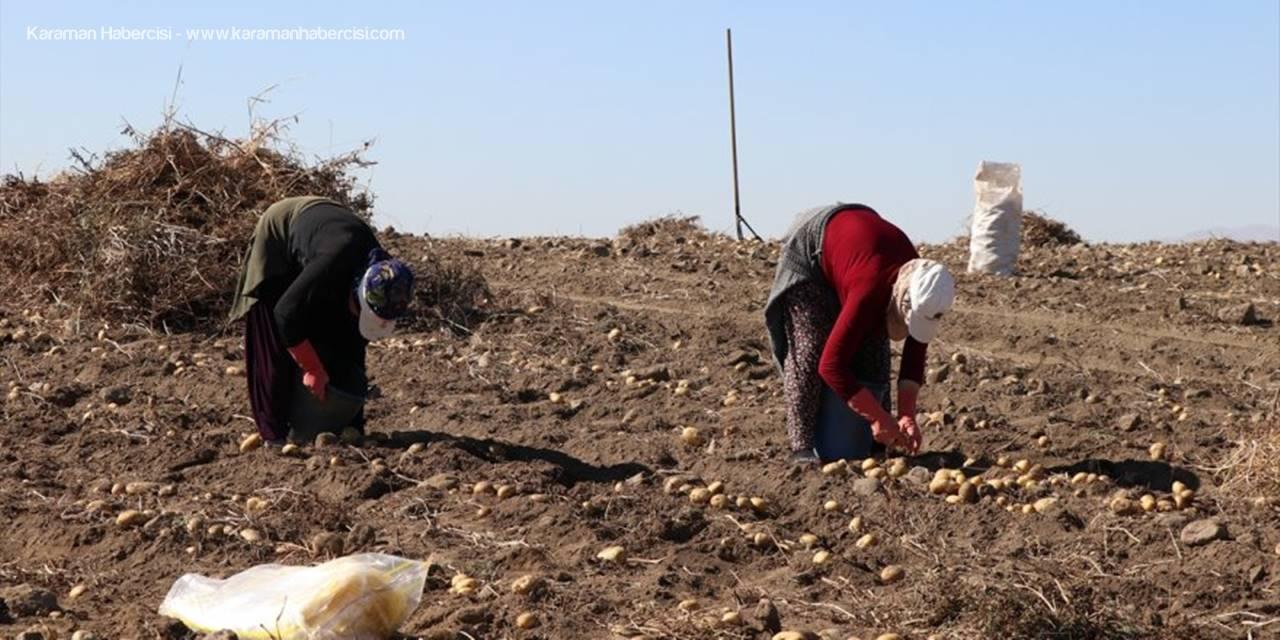 Niğde'de Yazlık Patates Hasadı
