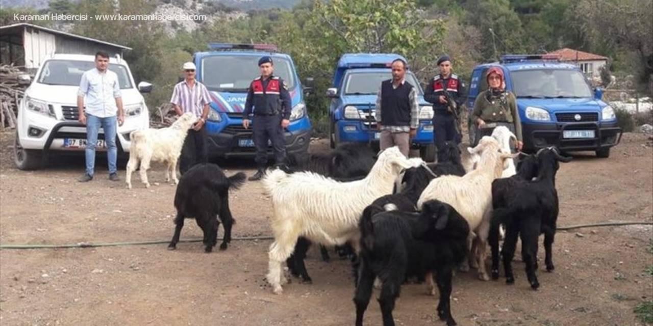 Antalya Serik'te Kaybolan Keçileri Jandarma Buldu