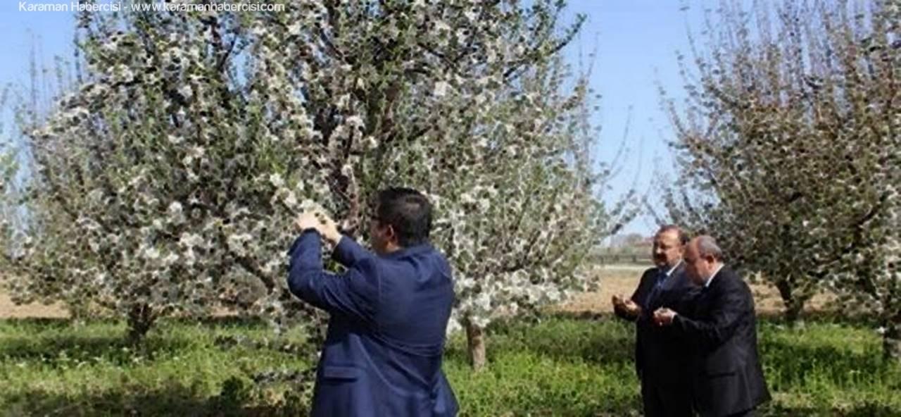 Karaman'da Elma Bahçelerinin Don Zararı