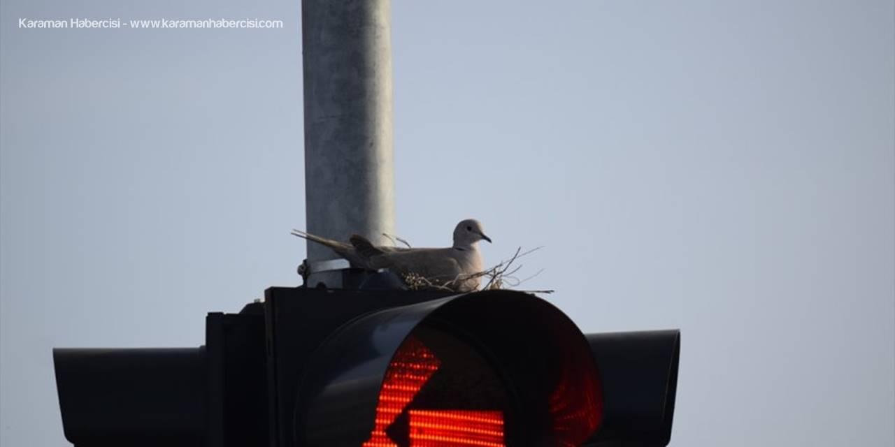 Trafik Işıklarına Yuva Yapan Kumru Dikkat Çekti