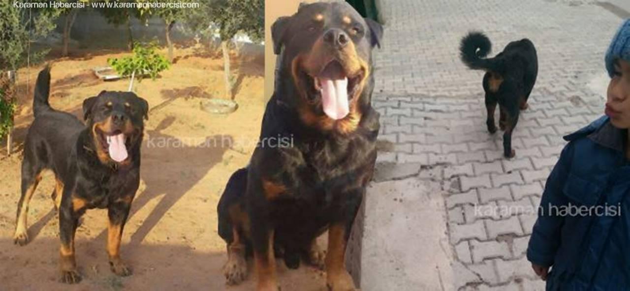 Karaman'da Köpek Hırsızları Türedi