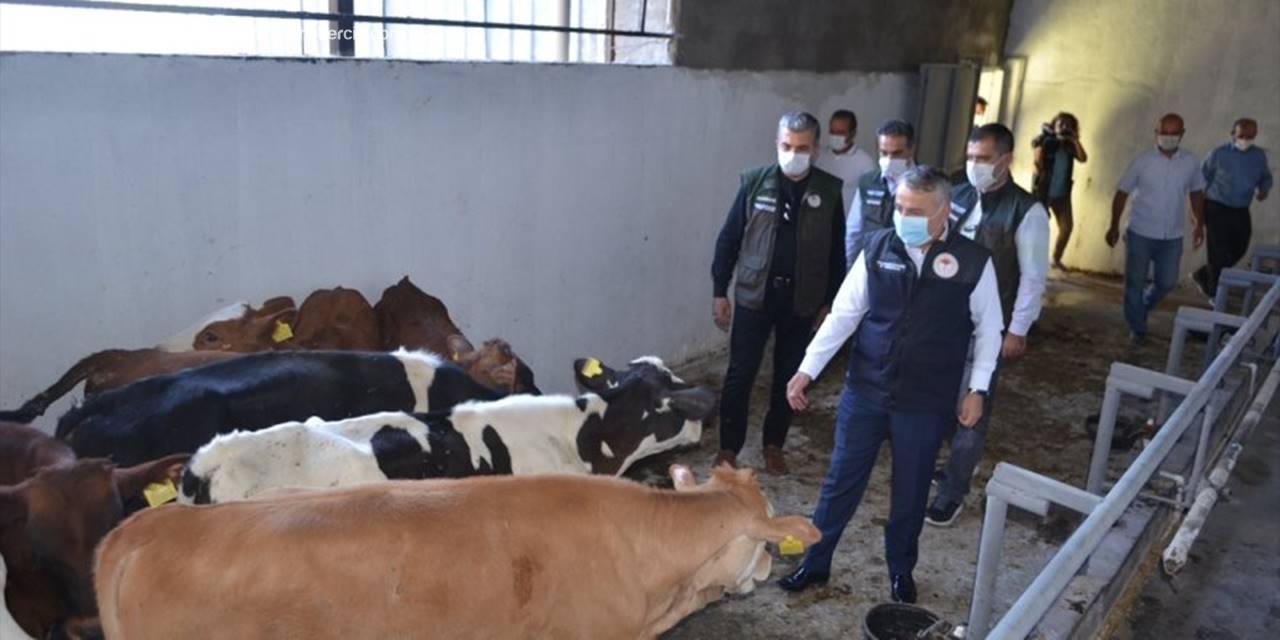 Kayseri'de Ahırı Yanan Çiftçiye Buzağı Ve Yem Yardımı Yapıldı