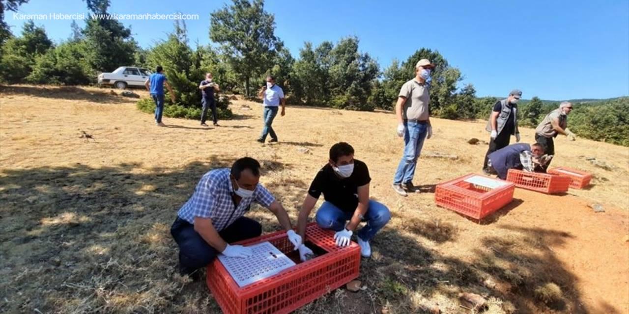 Konya'da 500 Kınalı Keklik Doğayla Buluşturuldu