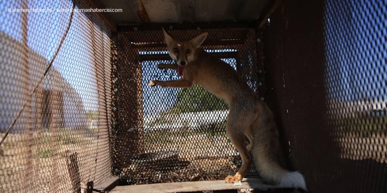 Horozunu Yiyen Tilkiyi Film Sahnesinden Esinlenerek Kurduğu Kafesle Yakaladı