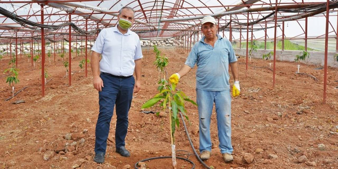 Kumlucalı Çiftçi Domates Üretmek İçin Kurduğu Seraya Mango Fidanları Dikti