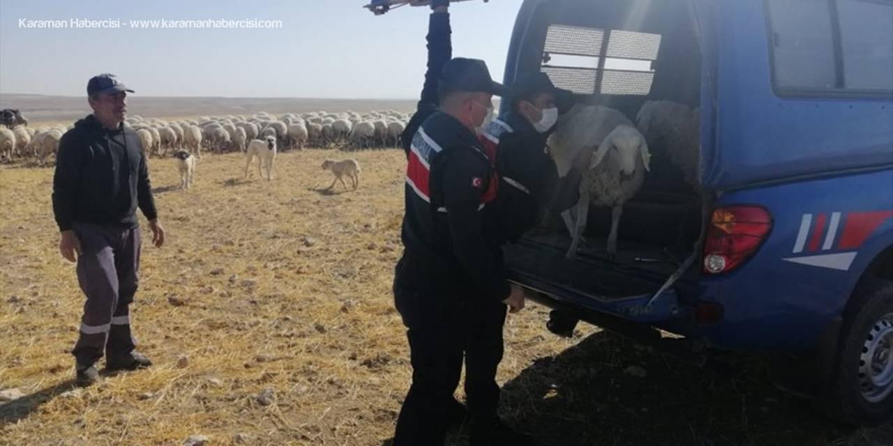 Kayseri'de Gözaltına Alınan Küçükbaş Hayvan Hırsızlarından Biri Tutuklandı