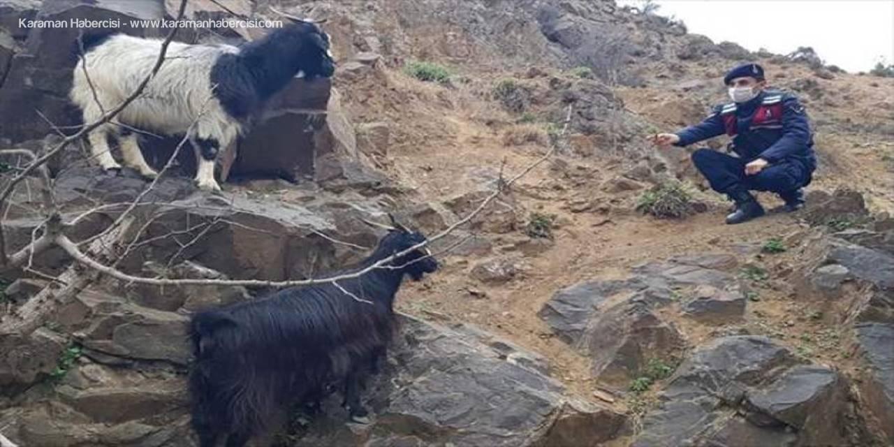 Mihalgazi İlçesinde Kaybolan Keçileri Jandarma Buldu
