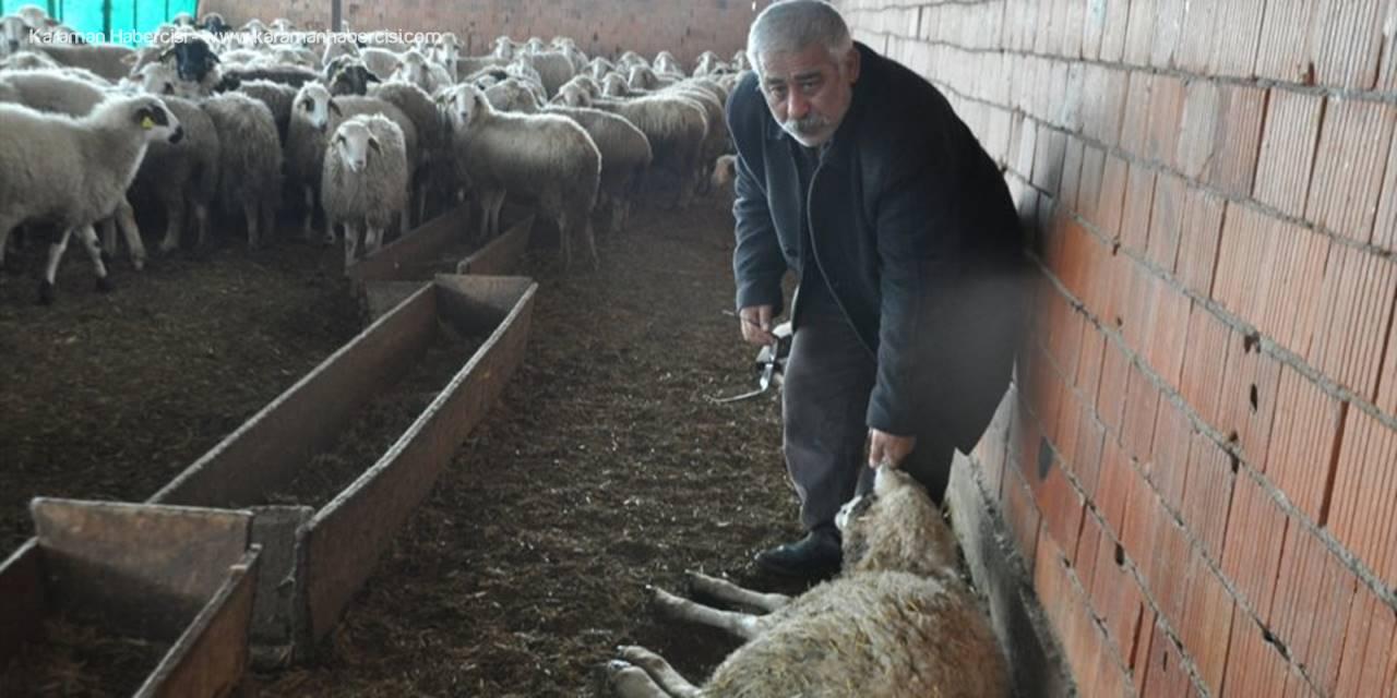Konya'da Başıboş Köpekler Koyun Ağılına Saldırdı