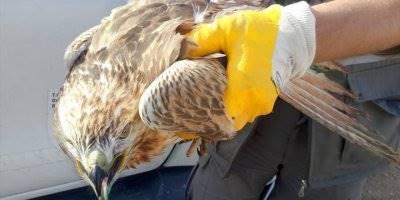 Yaralı Şahin Konya'da Tedavi Altına Alındı