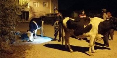 Manavgat'ta Kaybolan İnekleri Jandarma Buldu