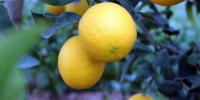 Limon Fiyatları Korona Etkisiyle Arttı