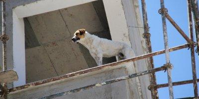 İnşaata Çıkan Köpek Zor Anlar Yaşattı