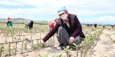 Niğde'nin Fidanları Türk Cumhuriyetleri'nde Meyve Veriyor