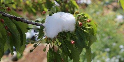 Toroslarda Kiraz Bahçelerine Kar Sürprizi