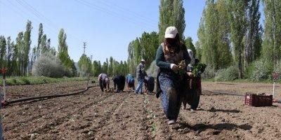 Niğde'de Lahana Üreticisini Yağışlara Sevindi