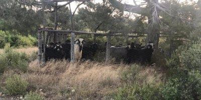 Mut'ta Çalınan Keçilerin Son Anda Etine Ulaşıldı