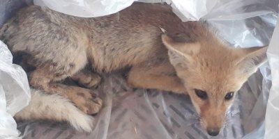 Aksaray'da Yaralı Tilki Yavrusu Tedaviye Alındı