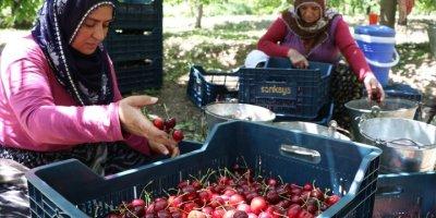 Bolkarlar'da Üretilen Kirazlar 12 Ülkeye İhraç Ediliyor