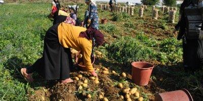 Deneme Amacıyla Ektiği Patatesten Dönüm Başına 6 Ton Ürün Aldı