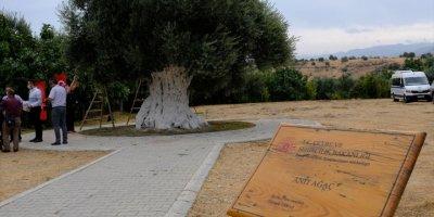 Mut'ta 1300 Yıllık Anıt Ağacın Zeytinleri Hasat Edildi