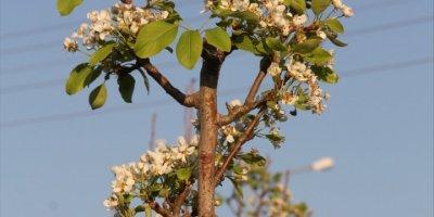 Mersin'de Armut Ağaçları Kasım Ayında Çiçek Açtı