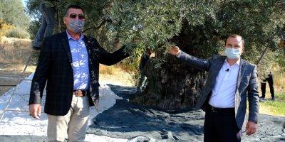 Mersin'de Asırlık Zeytin Ağaçları Hasat Ediliyor