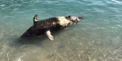 Antalya'da Sahile Fok Ölüsü Vurdu