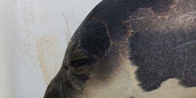 Antalya Körfezi'nde Ölü Akdeniz Foku Bulundu