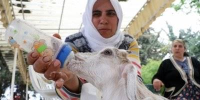 Mersin'de Annesi Ölen Keçiyi Bebekleri Gibi Besliyorlar