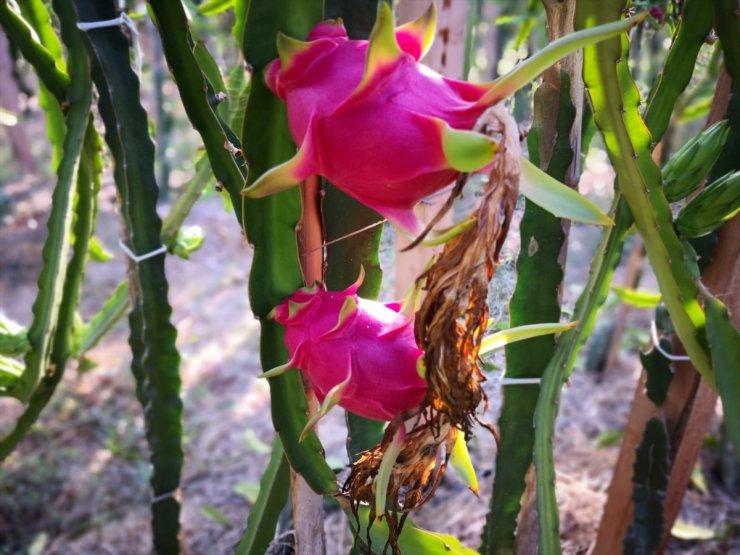 Mersin'de ejder meyvesi hasadı