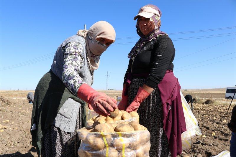 Niğde'de Patates Rekoltesinin 900 Bin Ton Olması Bekleniyor