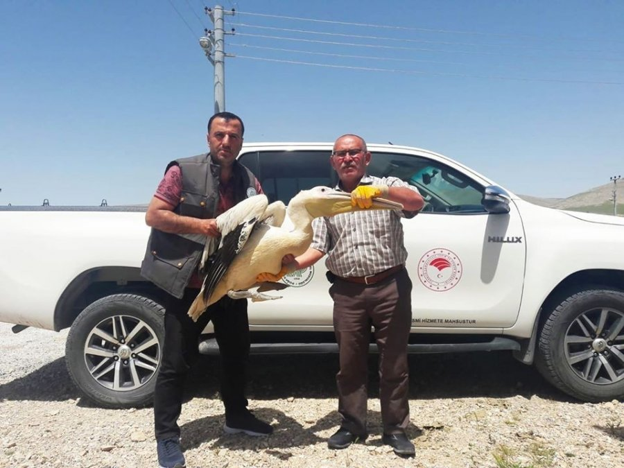 Konya'da Yaralı Bulunan Pelikana Yardım Eli