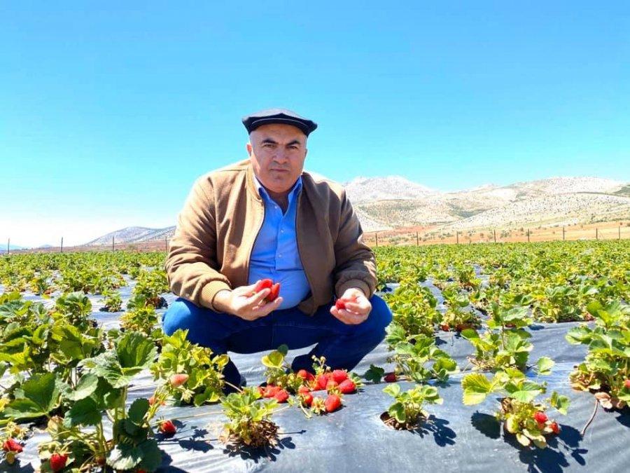 Çilek Üretiminde Karaman'ın İddiası Aromada