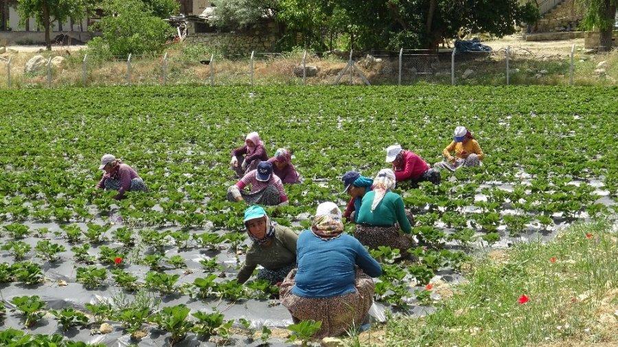 Ermenek'te Zeytinden Sonra Çilekte Yöre Halkının Umudu Oldu