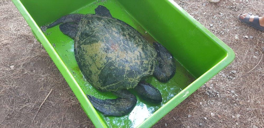 Yardım Edilmek İstenen Yeşil Deniz Kaplumbağası Telef Oldu