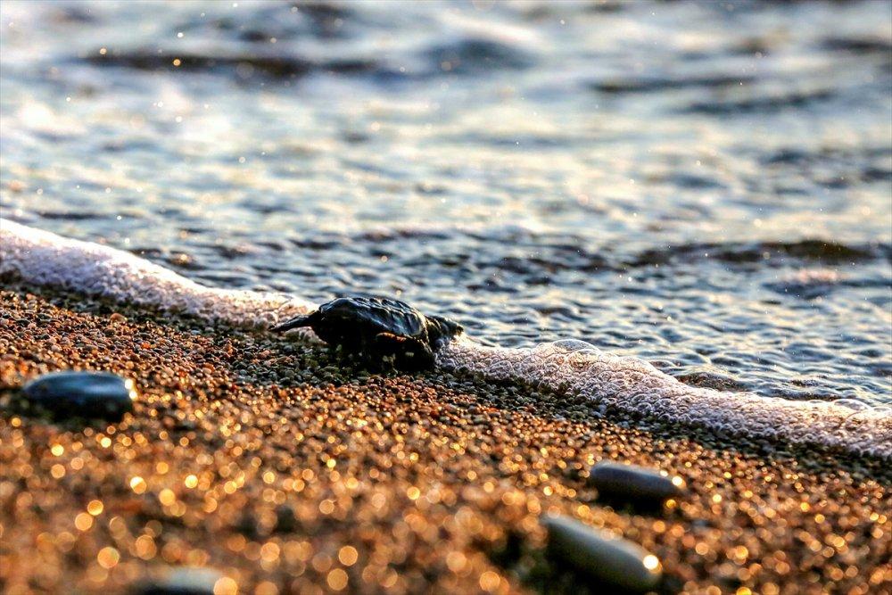 Antalya'da Caretta Caretta Yavruları Denizle Buluştu