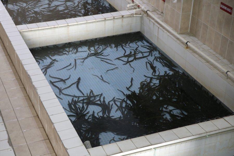 Hobi Amaçlı Tuttuğu Yılan Balıklarını İhraç Etmeye Başladı