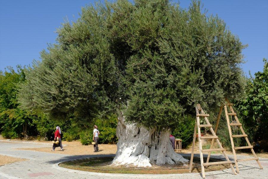 Mersin'de 1300 Yıllık Anıt Ağacın Zeytinleri Hasat Edildi
