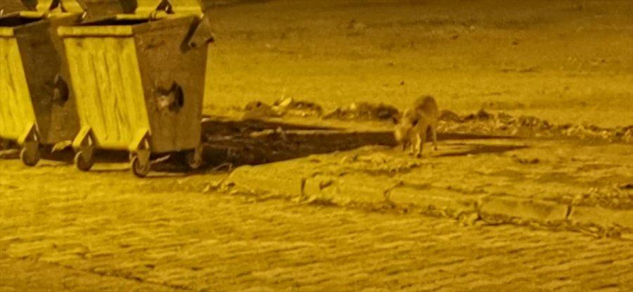 Karapınar'da Aç Kalan Tilkiler Şehre İndi