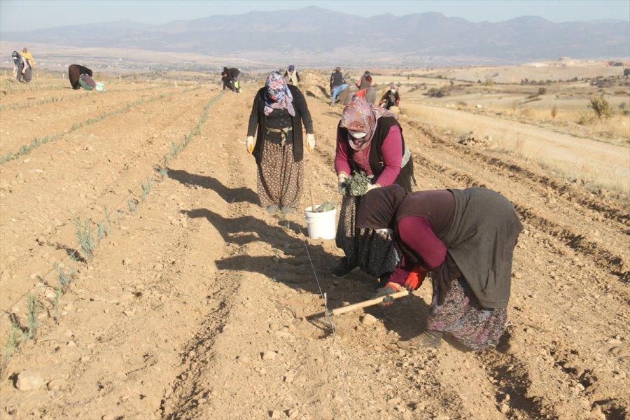 Konya'daki Ata Topraklarında Devasa Lavanta Bahçesi Kurdu