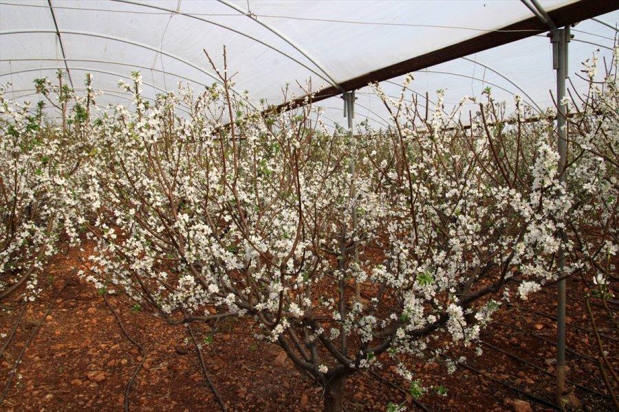 Mersin'de Örtü Altı Erik Ağaçları Erken Çiçek Açtı