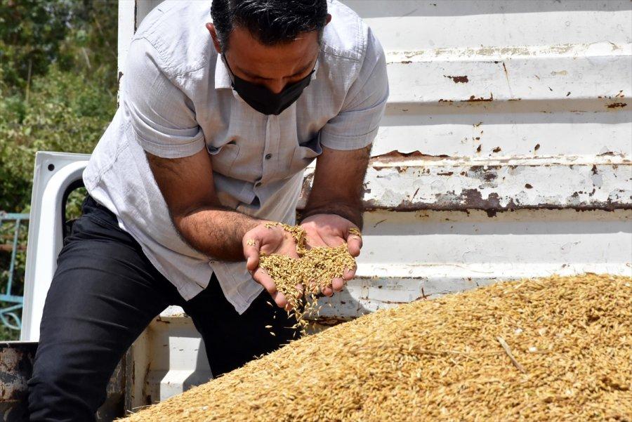 Tarsus'ta Ekilen Yerli Cins Kundura Buğdayının İlk Hasadı Yapıldı